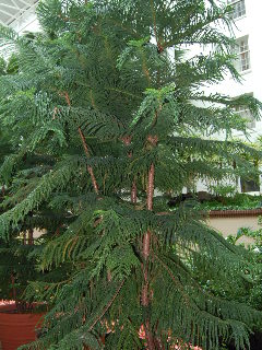 Norfolk Island Pine Oh Christmas Tree Oh Houseplant