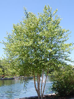 birch river christian dating site They work well used in native and woodland gardens and river birch trees are eye-catching native birch trees, such as the gray and paper birch dating.
