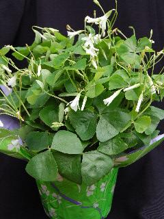 The shamrock plant happy st patrick 39 s day - Shamrock houseplant ...